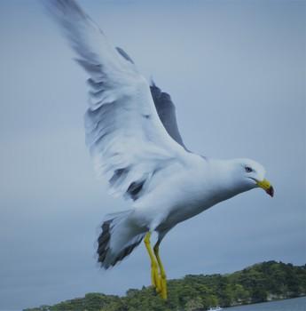 seagull_matsushima2.jpg